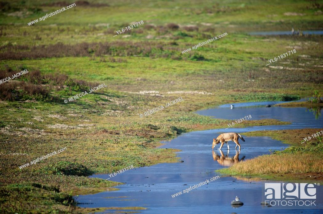 Stock Photo: Ethiopian wolf drinking from a stream in the Bale Mountains.