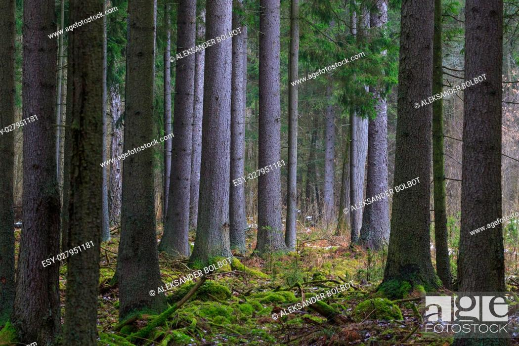 Stock Photo: Coniferous stand of spruces in winter cloudy morning, Bialowieza Forest, Poland, Europe.