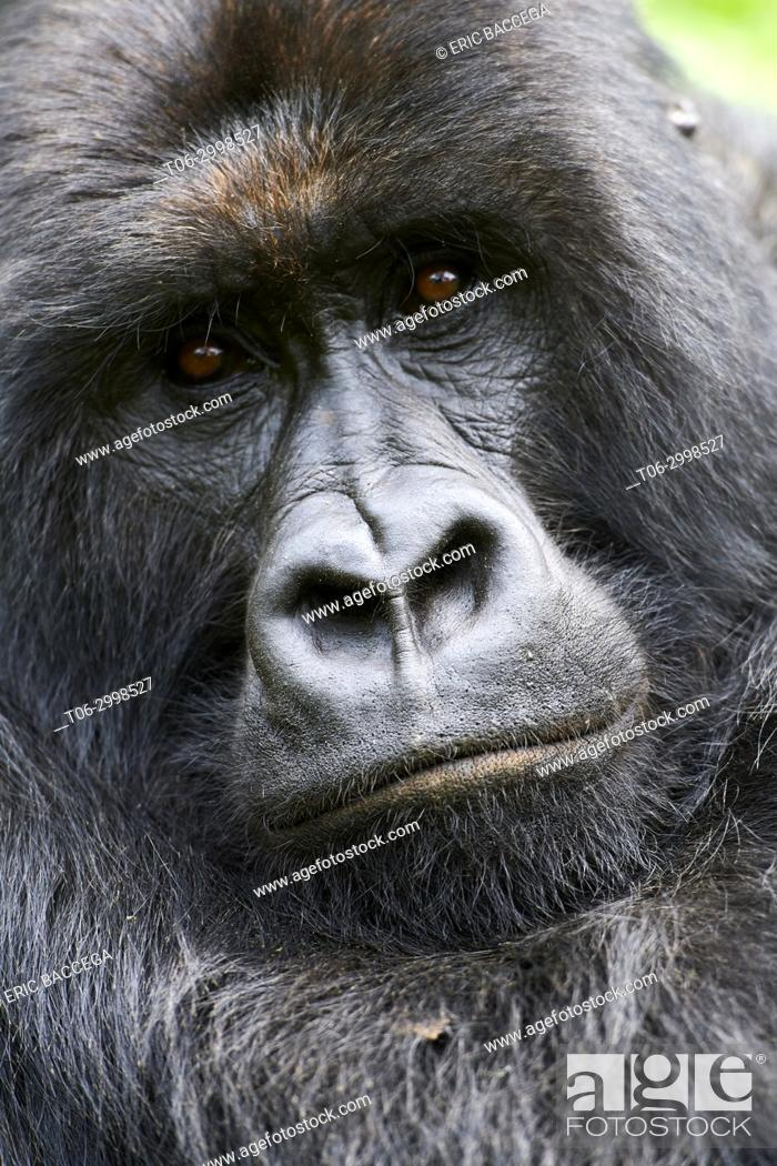 Stock Photo: Head portrait of Silverback Mountain gorilla (Gorilla beringei beringei) member of Kabirizi group. Virunga National Park, North Kivu.