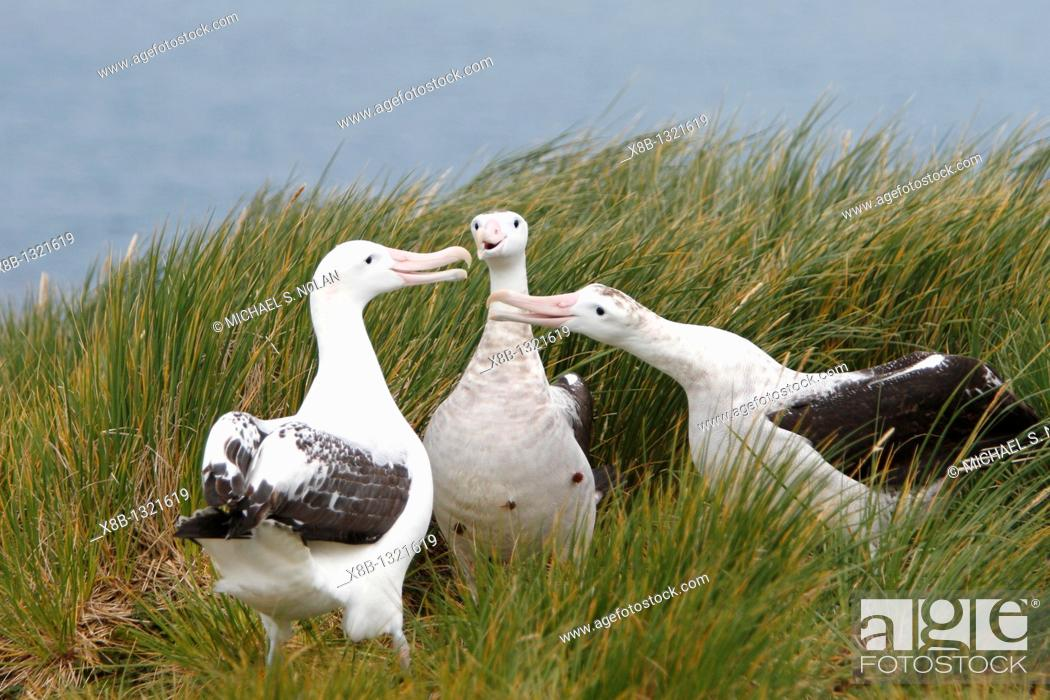 Stock Photo: Adult wandering albatross Diomedea exulans exhibiting courtship behavior on Prion Island, which lies in the Bay of Isles towards the west end of South Georgia.