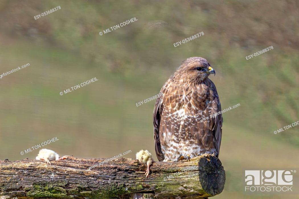 Stock Photo: Adult Eurasian Common Buzzard, buteo buteo, perched on a log along with two dead mice.