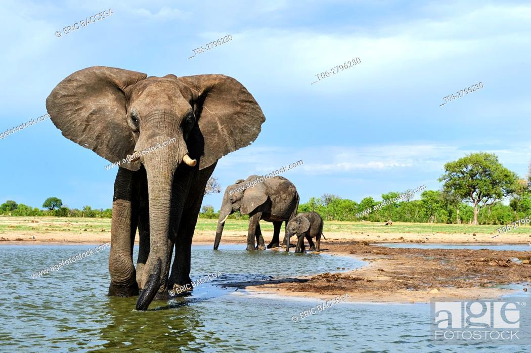 Stock Photo: African elephant group (Loxodonta africana) drinking at a watehole. Hwange National Park, Zimbabwe.