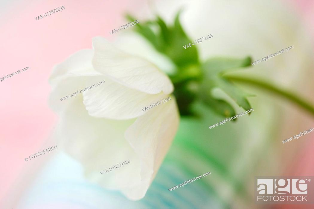 Stock Photo: Anemone.