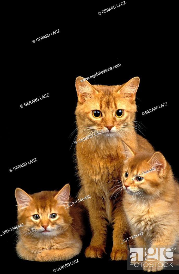 Stock Photo: RED SOMALI DOMESTIC CAT, MOTHER WITH KITTENS.