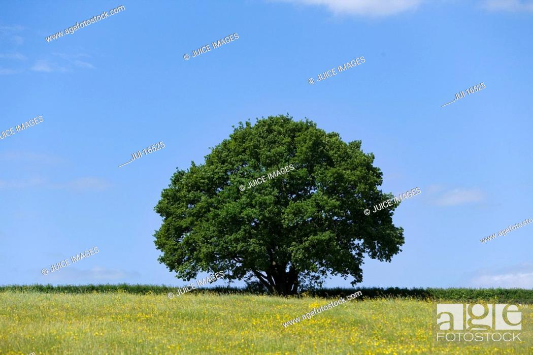 Stock Photo: Tree and field of yellow buttercup flowers.