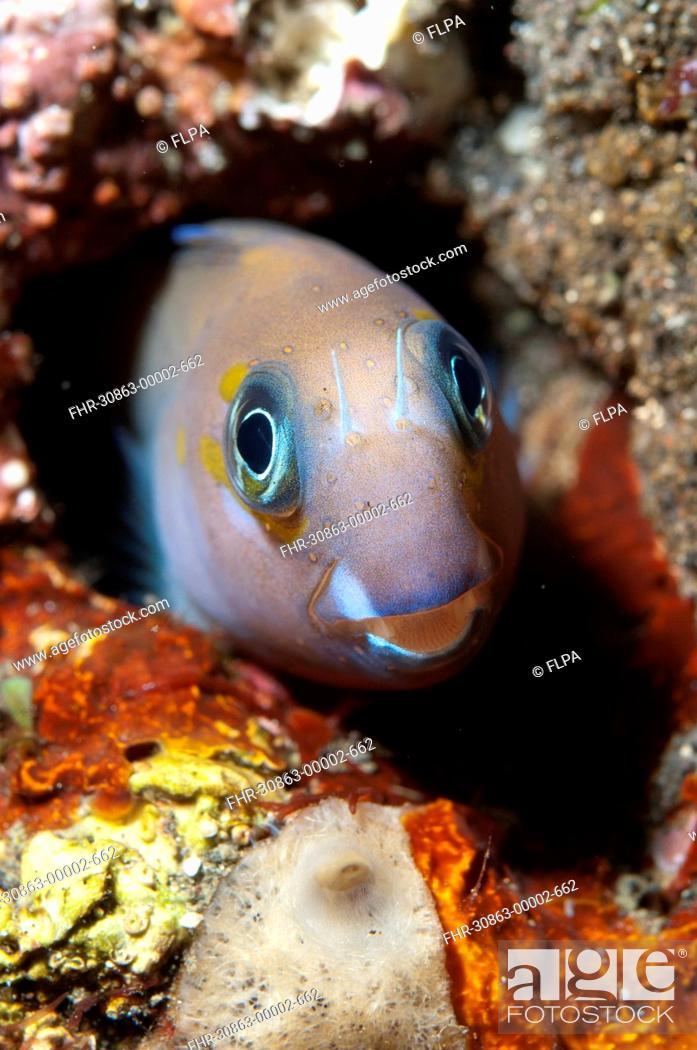 Stock Photo: Midas Blenny (Ecsenius midas) adult, in hole on reef, Seraya, Bali, Lesser Sunda Islands, Indonesia, April.