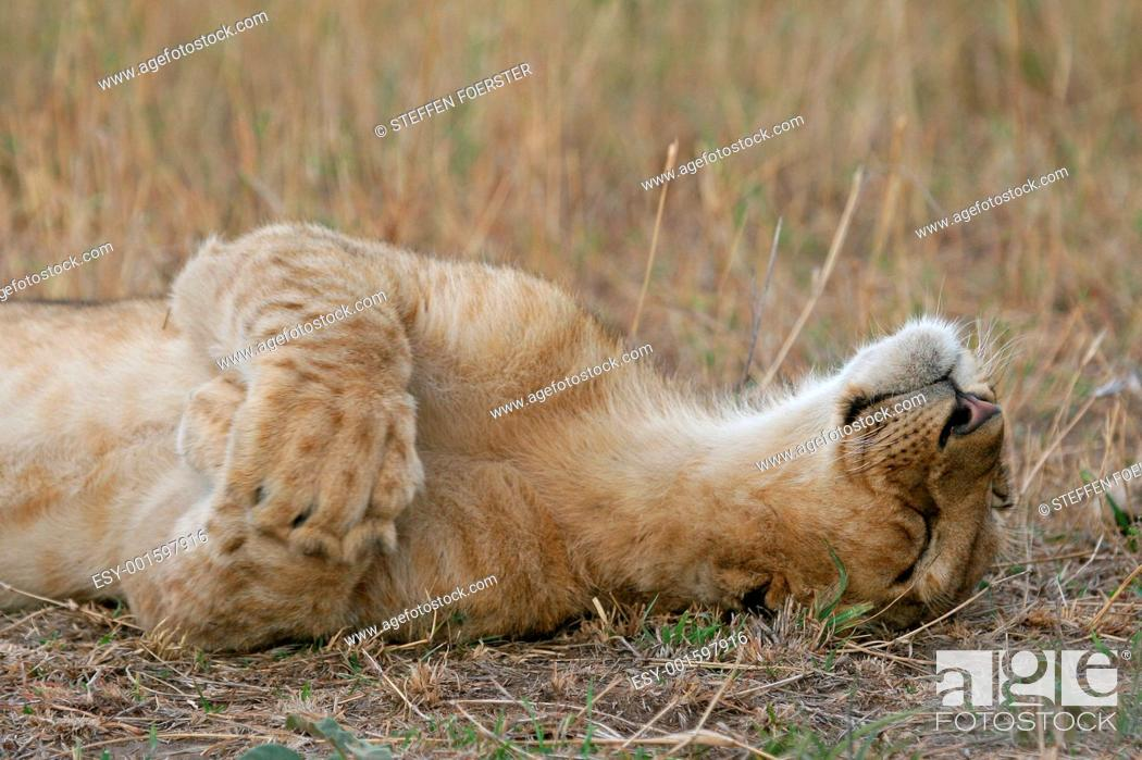 Stock Photo: Lion cub being cute.