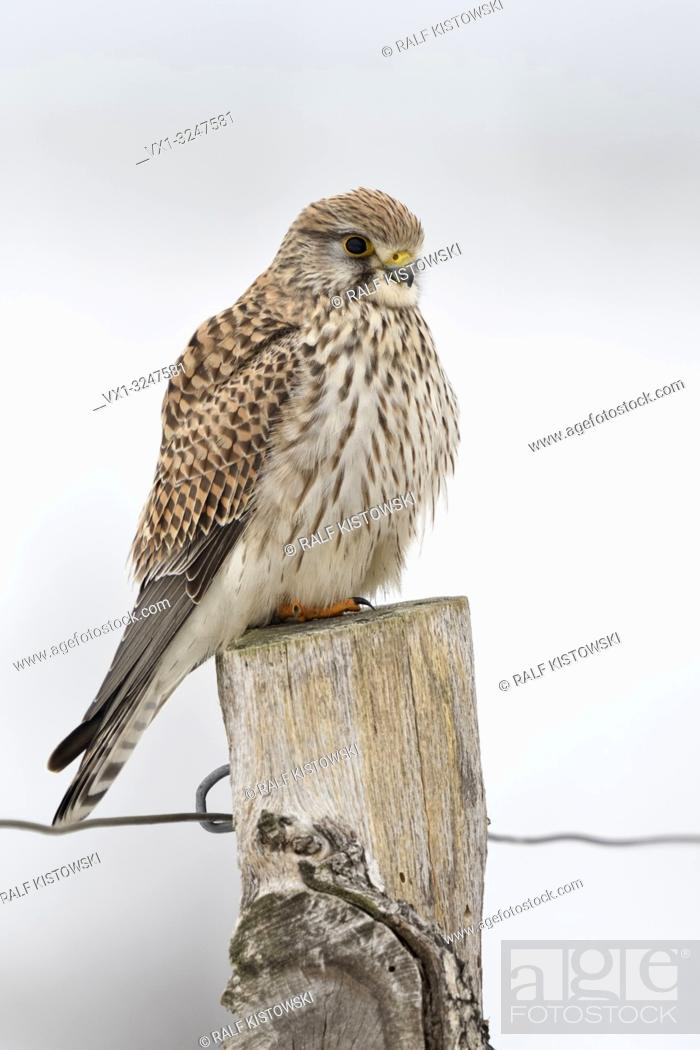 Imagen: Kestrel / Turmfalke ( Falco tinnunculus ), female adult in winter, perched on top of a fence post, resting, watching, wildlife, Europe.