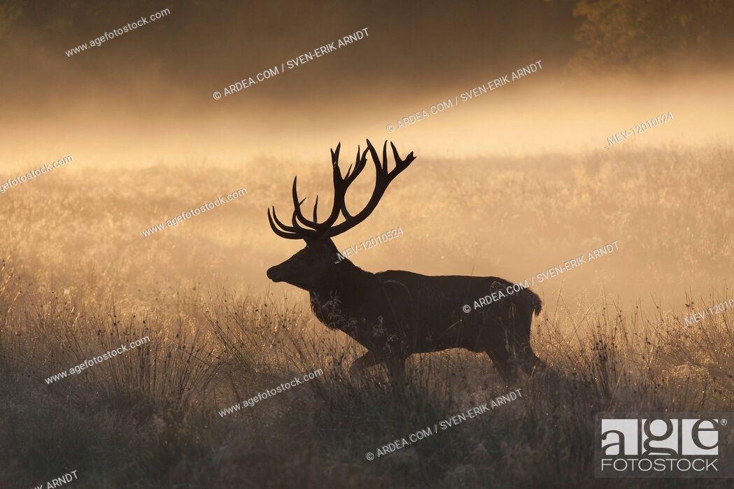 Imagen: Red Deer - stag in morning mist - Denmark.