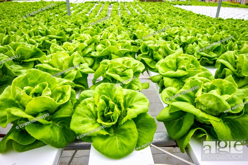Stock Photo: Close up on crisp Bibb lettuce that is being grown hydroponically, Salisbury, Maryland.