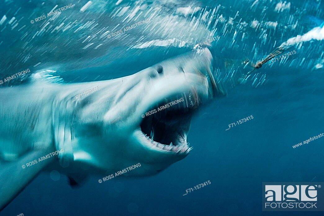 Stock Photo: Great white shark Carcharodon carcharias going for a bait Stewart Island, New Zealand.
