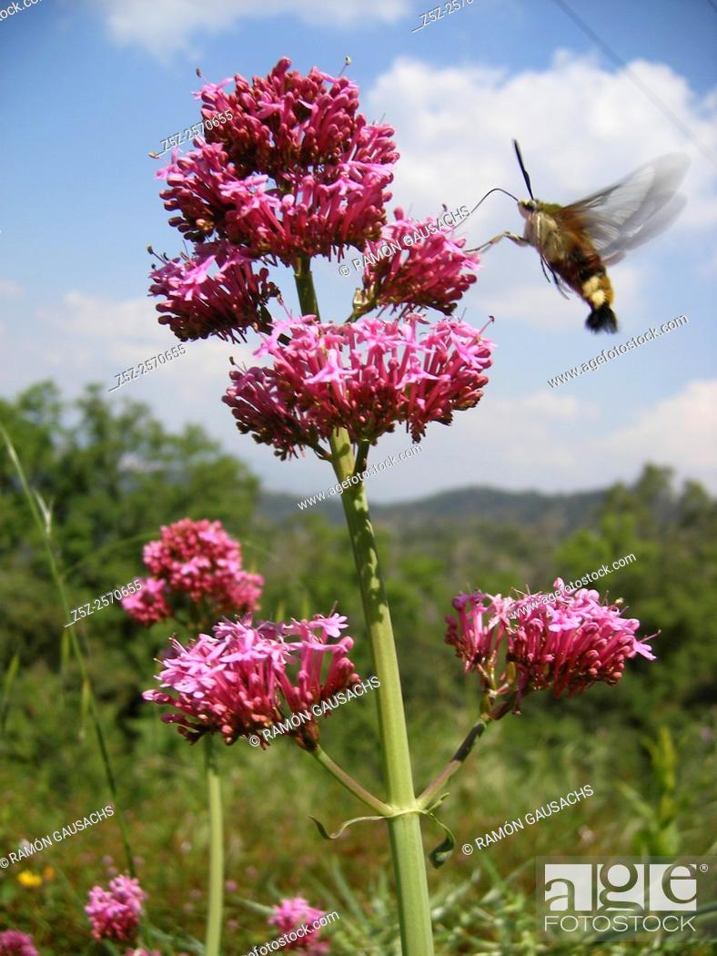Imagen: Centranthus ruber.
