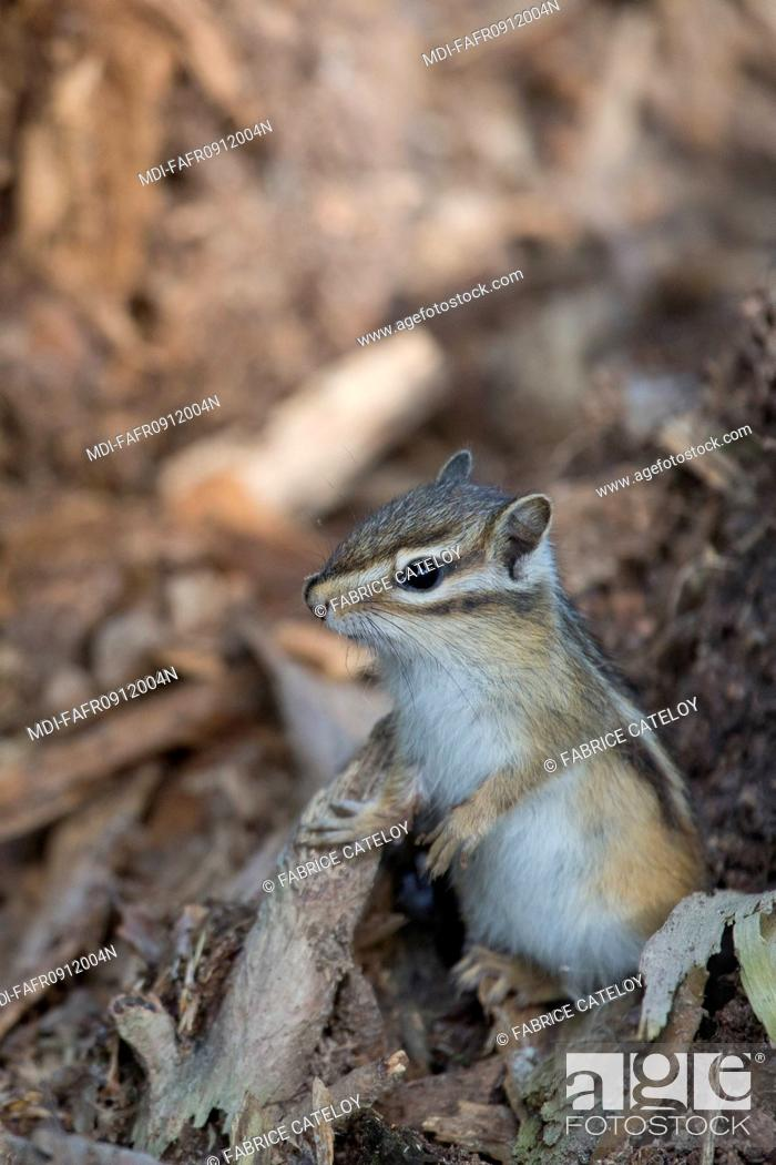 Stock Photo: Nature - Fauna - Squirrel - Feral Siberian chipmunk in Senart Forest - France.