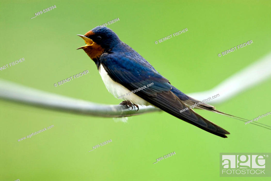 Stock Photo: Swallow (Hirundo rustica), sitting on a file and singing, Lake of Neusiedel, National Park, Austria.