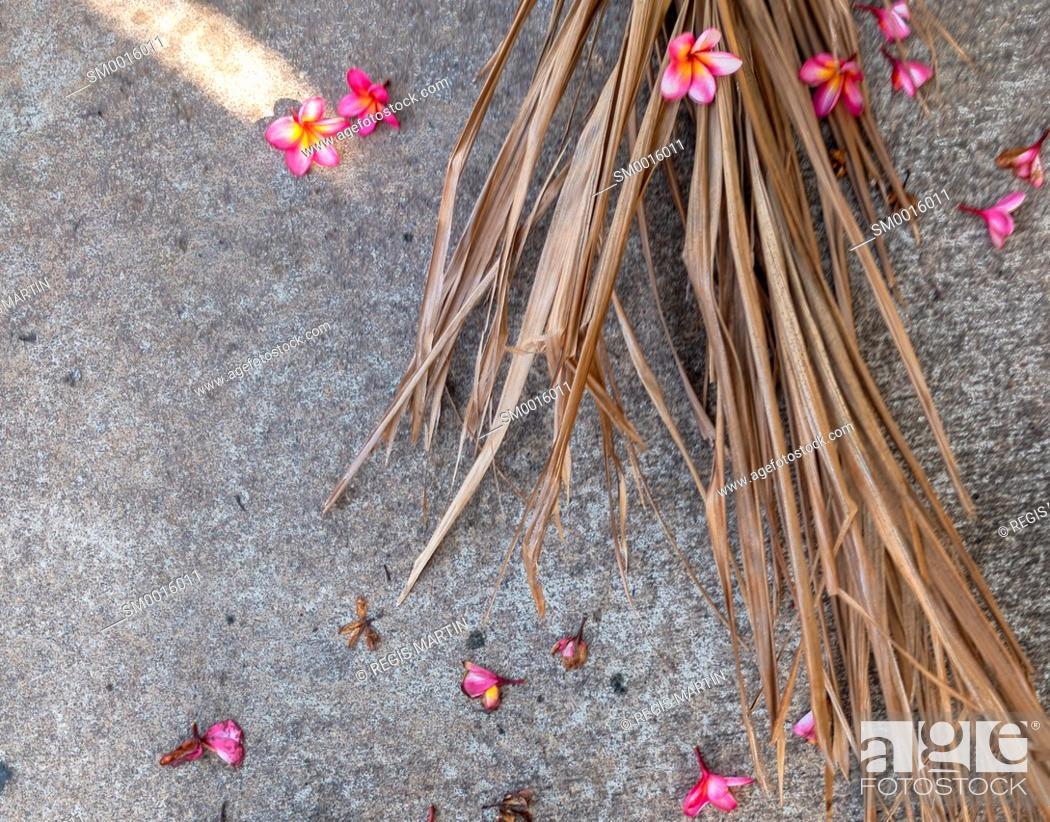 Stock Photo: Fallen pink frangipani Plumeria flowers.