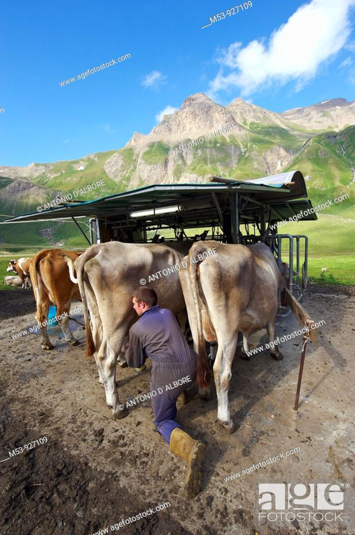 Stock Photo: A farmer put in place a milking device at a temporary milking station  lepontine alps  Verbano Cusio Ossola province  piemonte  italy  europe.