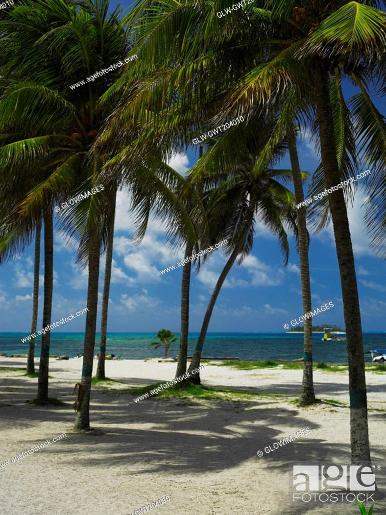 Stock Photo: Palm trees on the beach, Spratt Bight Beach, San Andres, Providencia y Santa Catalina, San Andres y Providencia Department, Colombia.