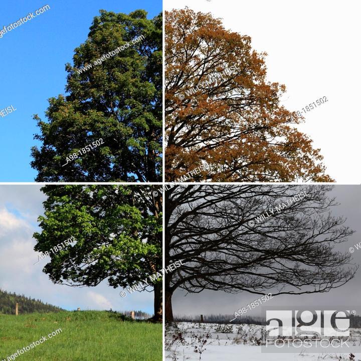 Imagen: digital Composite of four seasons of a Single Sycamore Maple Tree on meadow, Sumava National Park, Bohemia, Czech Republic, Europe.