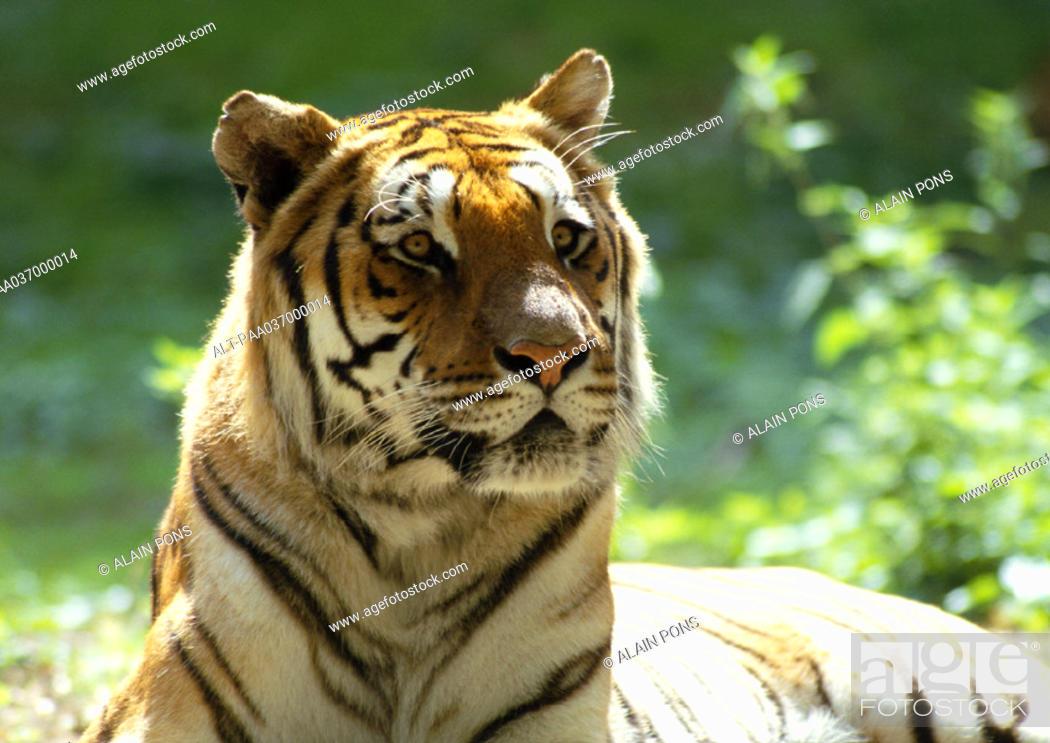 Stock Photo: India, tiger, focus on head.