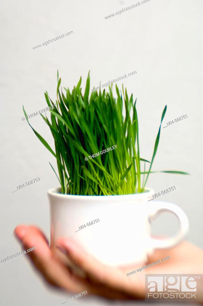 Stock Photo: Cup of wheat grass.