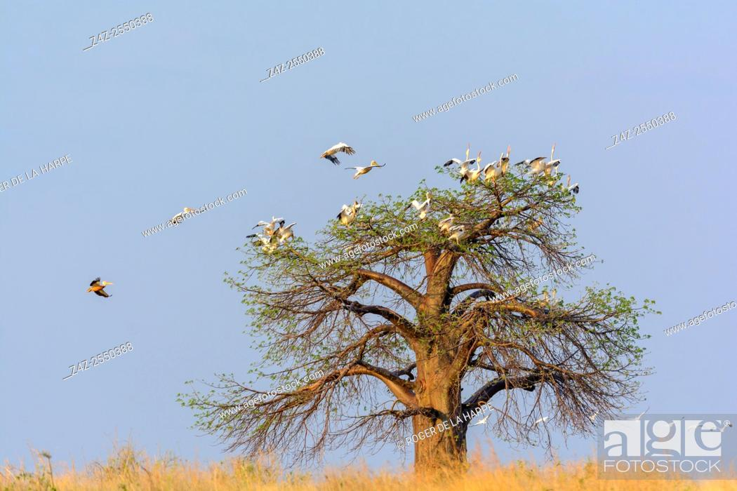 Imagen: Great white pelican, also known as the eastern white pelican, rosy pelican or white pelican (Pelecanus onocrotalus) roosting in a Baobab tree (also called.