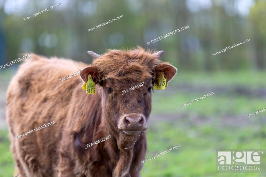 Stock Photo: Highland cattle.