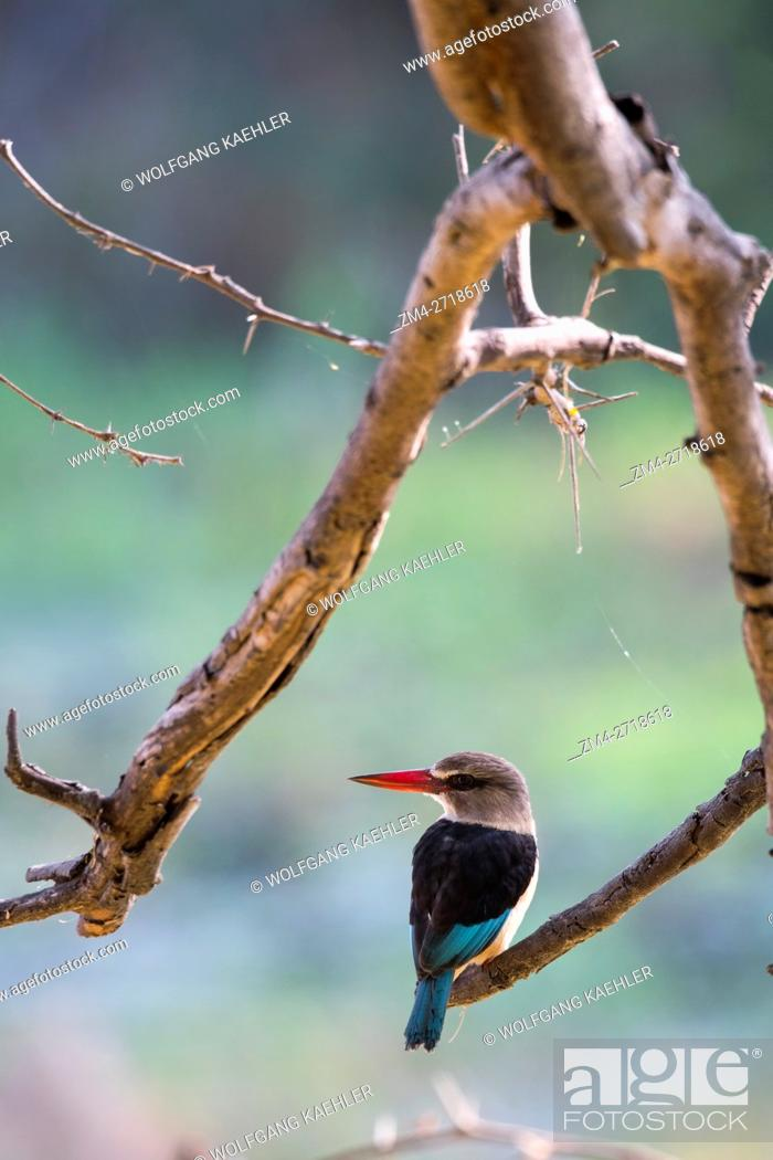Stock Photo: A Brown-hooded Kingfisher (Halcyon albiventris) is sitting on a branch of a tree along the Shire River in Liwonde National Park, Malawi.