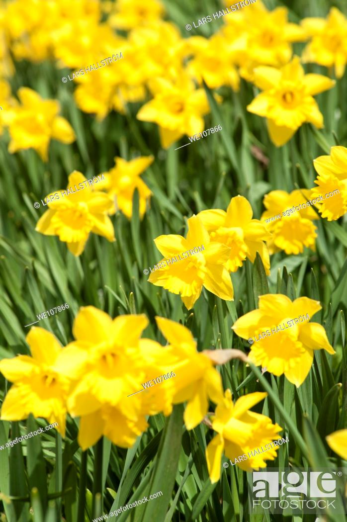 Stock Photo: Daffodils, Sweden.