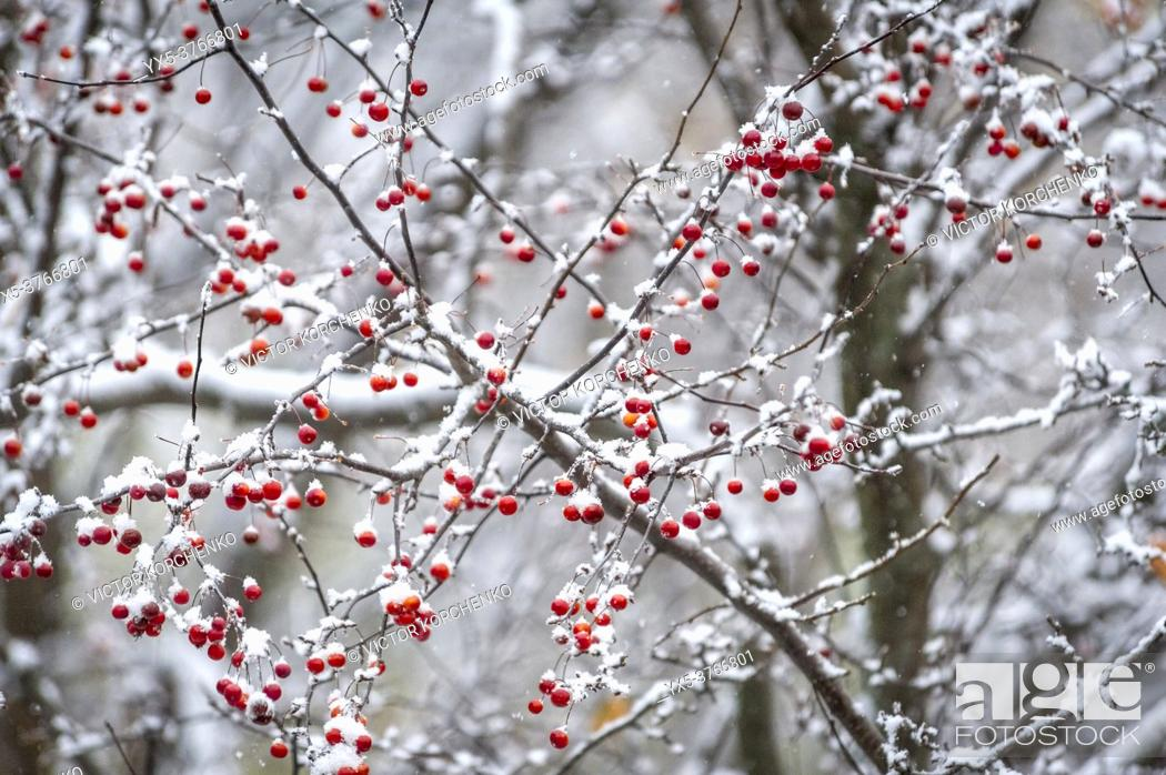 Imagen: Berries covered with early first snow.