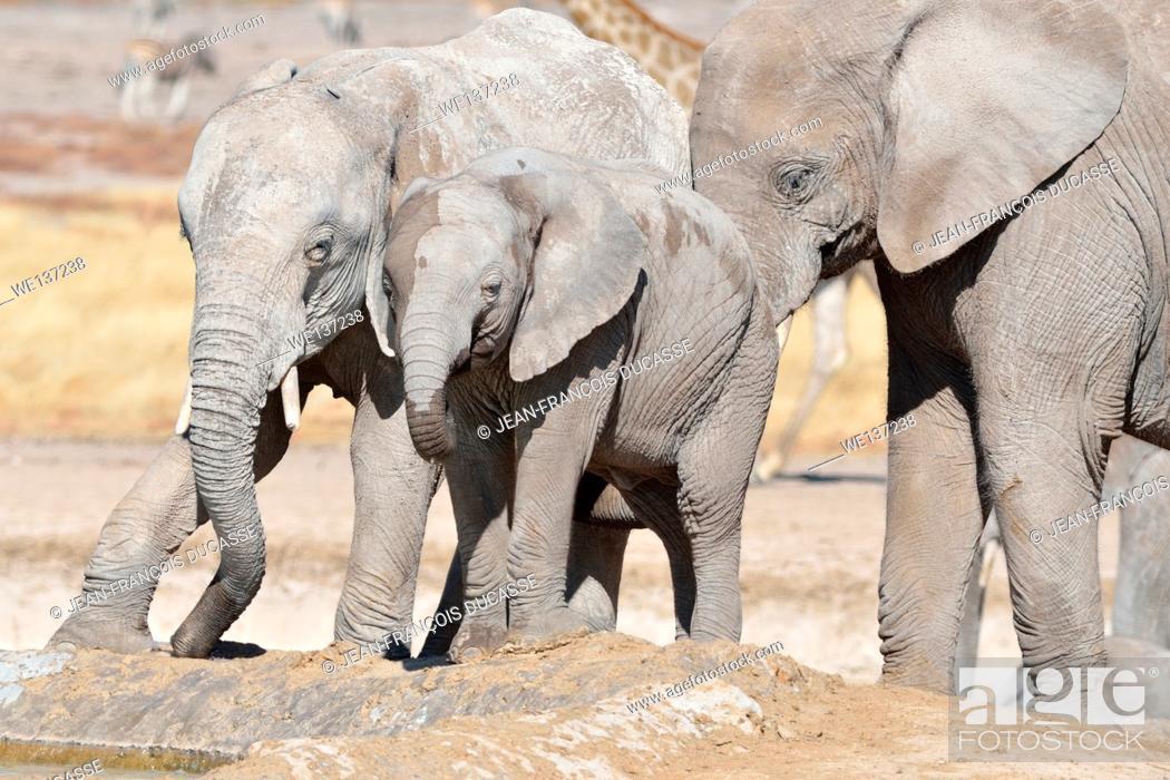 Stock Photo: African elephants (Loxodonta africana), two young male drinking at a waterhole, Etosha National Park, Namibia, Africa.