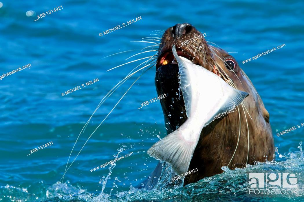 Stock Photo: Northern Steller sea lion Eumetopias jubatus close-up eating a halibut in Southeastern Alaska, USA  MORE INFO: This is the second largest of all pinnipeds in.