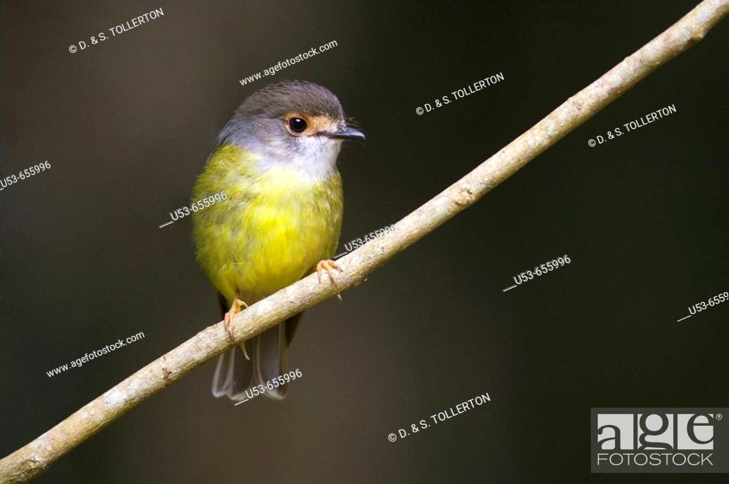 Stock Photo: Pale-yellow Robin, Tregallasia, race nana, perched on a branch.