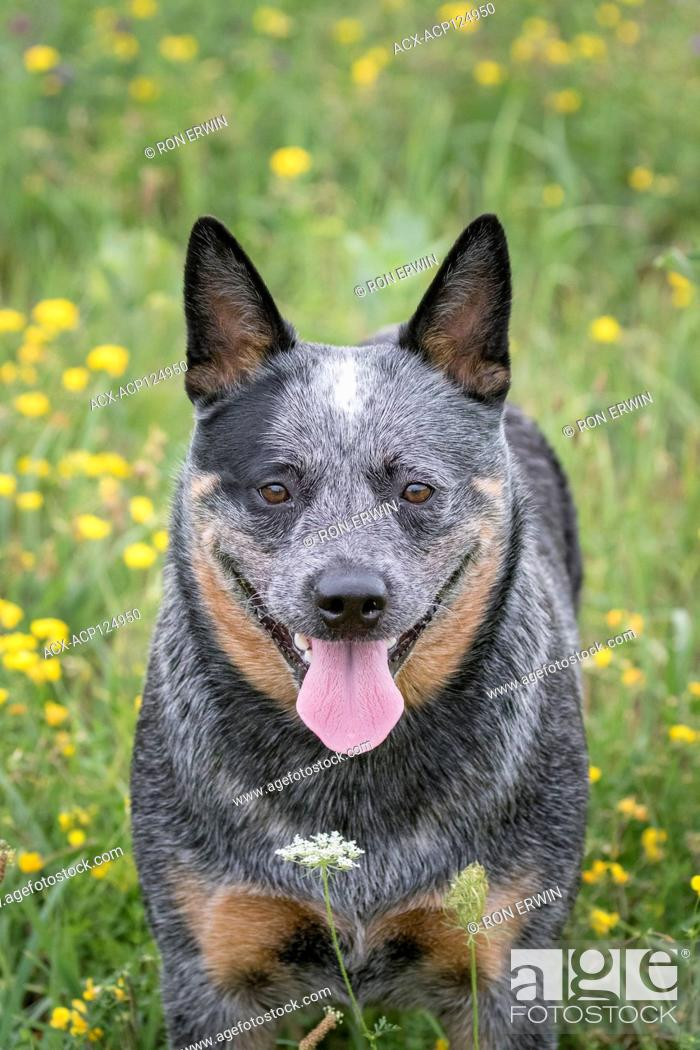 Stock Photo: Australian Blue Heeler female dog in a field in Ontario, Canada.