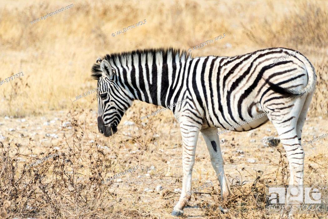 Stock Photo: Young Burchell's Zebra (Equus burchellii), Etosha National Park, Namibia.
