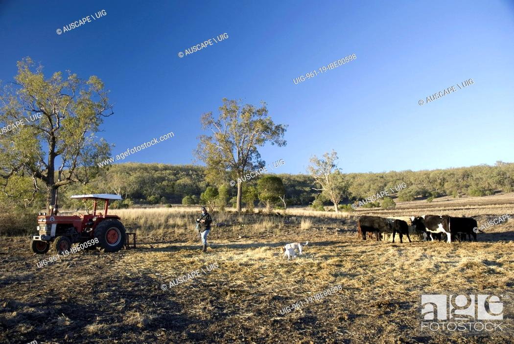 Stock Photo: Hand feeding cattle, necessitated by poor pasture due to scarce rainfall, Pittsworth, Queensland, Australia. (Photo by: Auscape/UIG).