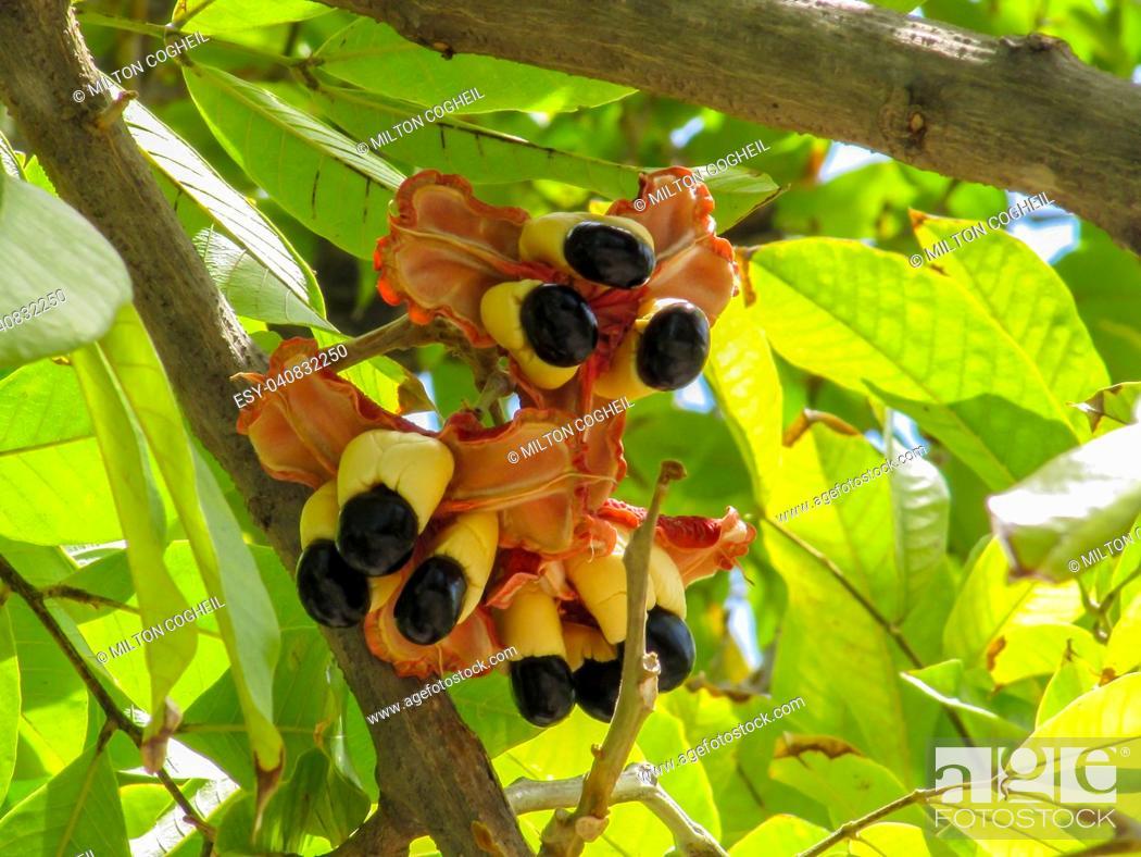 Stock Photo: Ackee fruit tree bearing ripe ackee fruit.