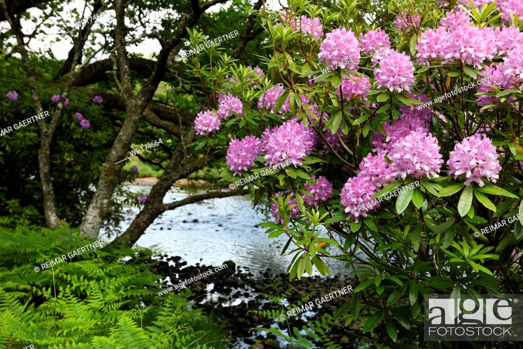 Stock Photo: Invasive Rhododendron Ponticum and bracken on the River Ba at Benmore Estate in Knock on Isle of Mull Inner Hebrides Scotland UK.