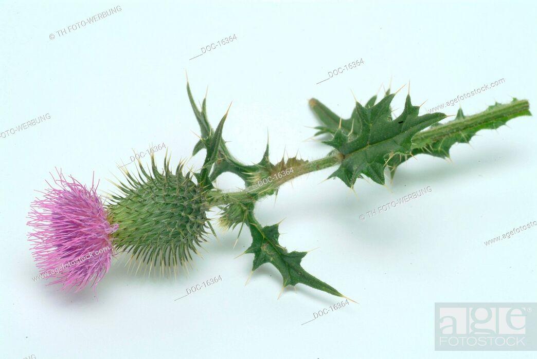 Imagen: Cotton thistle - scotch thistle - medicinal plant - herb - Onopordum acanthium - onopordon - Onopordo tomentoso -.