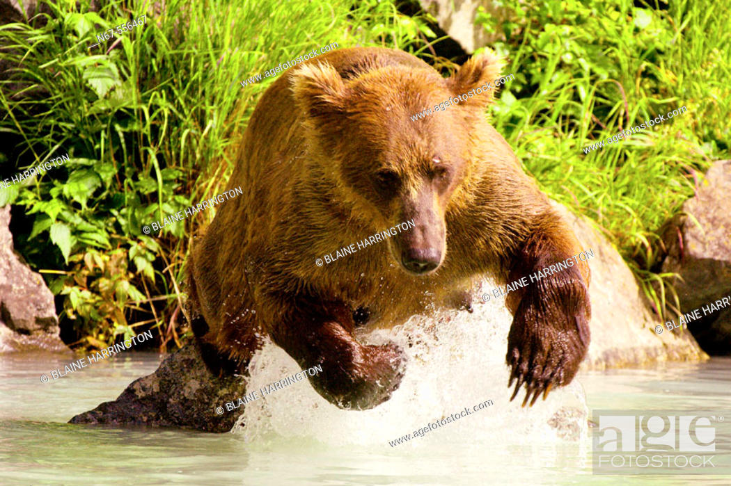 Stock Photo: Sow (female) brown bear fishing for salmon near the Redoubt Bay Lodge, Big River Lakes, along the Cook Inlet, west of Anchorage, Alaska.