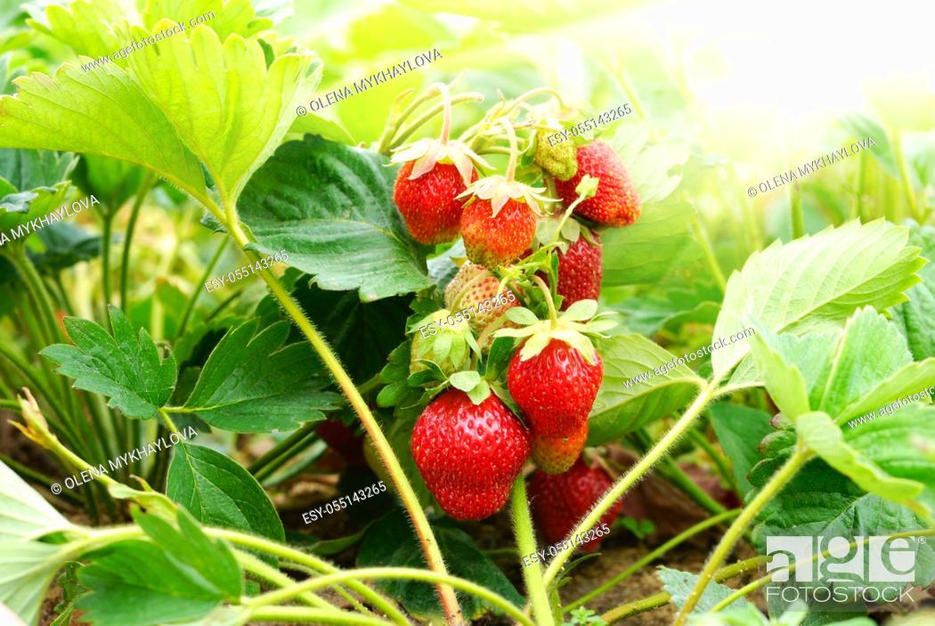 Stock Photo: Fresh organic strawberries against sunlight closeup shot.