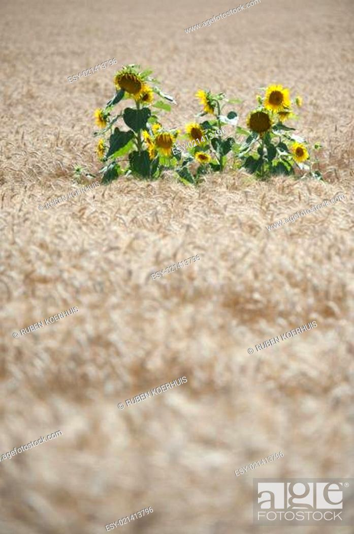 Stock Photo: Sunflowers in a wheat field.