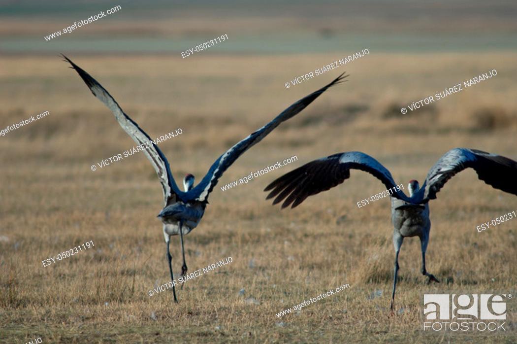 Stock Photo: Common cranes (Grus grus) taking flight. Gallocanta Lagoon Natural Reserve. Aragon. Spain.