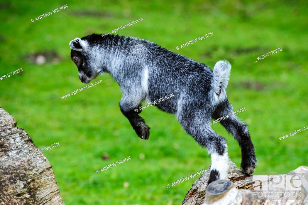 Stock Photo: Pygmy Goat kid playing.