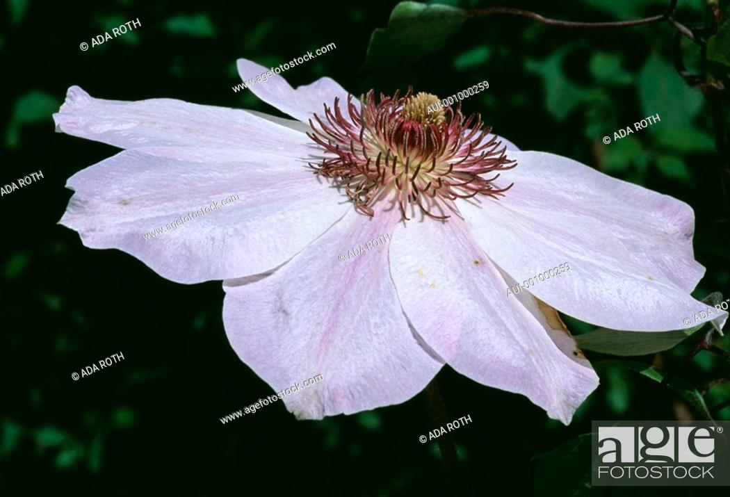 Stock Photo: Clematis dawn - pale pink - enchanting with a conspicuous heart of abundant stamens.