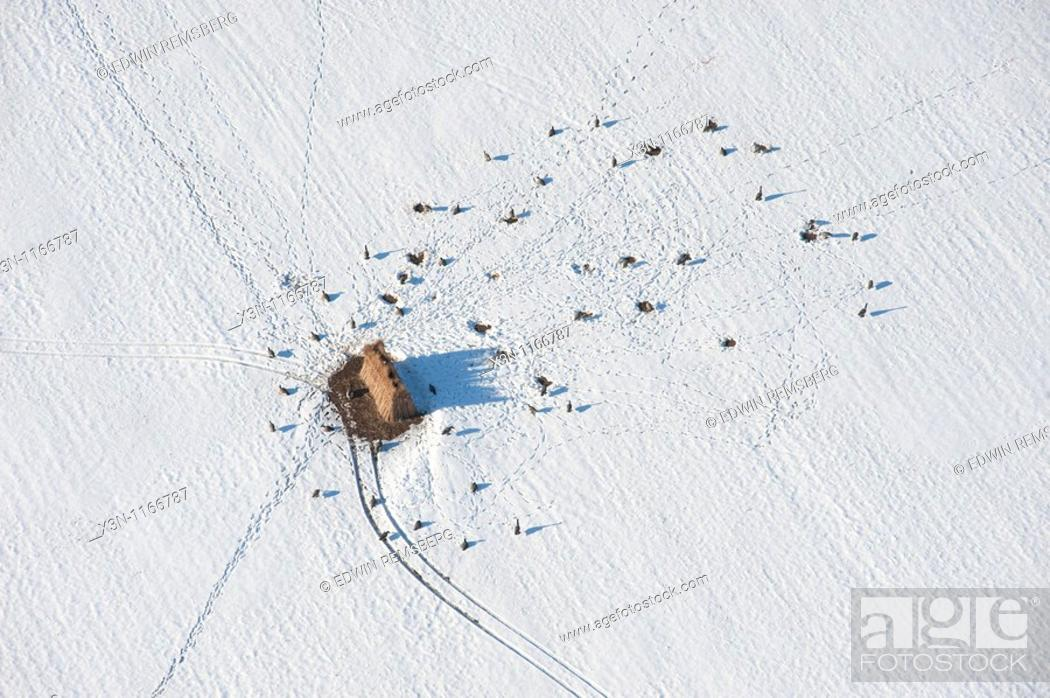 Stock Photo: Aerial of Goose hunting blind with decoys in the snow, Dorchester County Maryland.