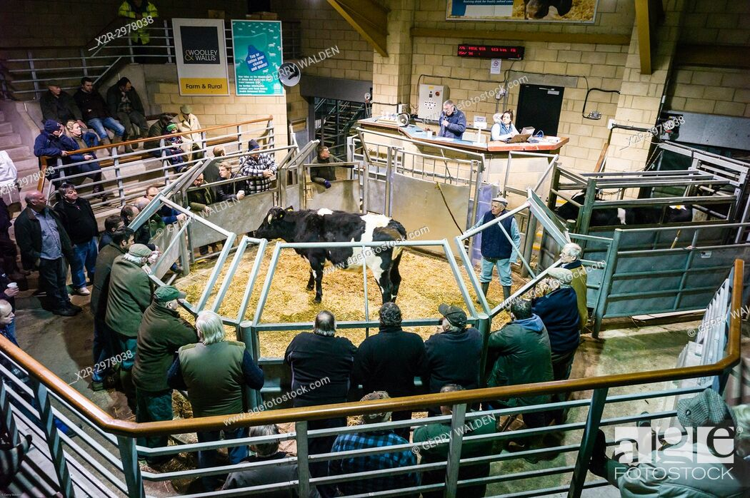 Stock Photo: A Fresian steer is paraded in front of potential buyers who circle the sales ring at Salisbury Livestock Market in Wiltshire, England.