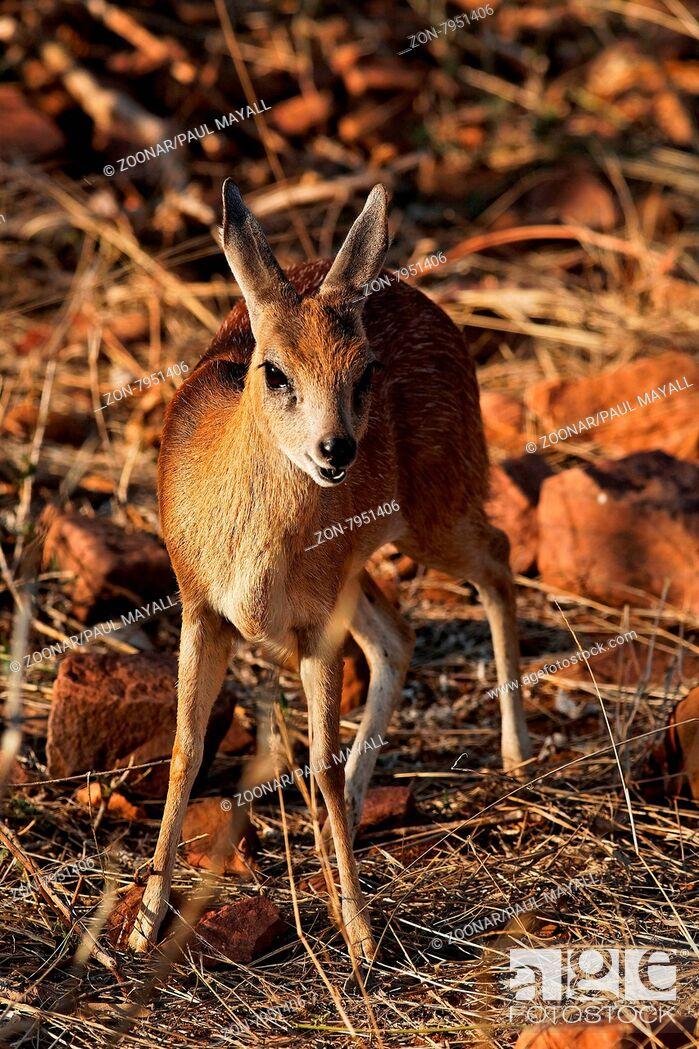 Imagen: Young female Bushbuck (Antilope cervicapra), close-up, in Kruger National Park, South Africa.