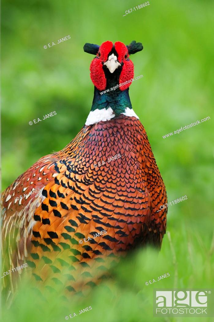 Stock Photo: Pheasants Phasianus colchicus.