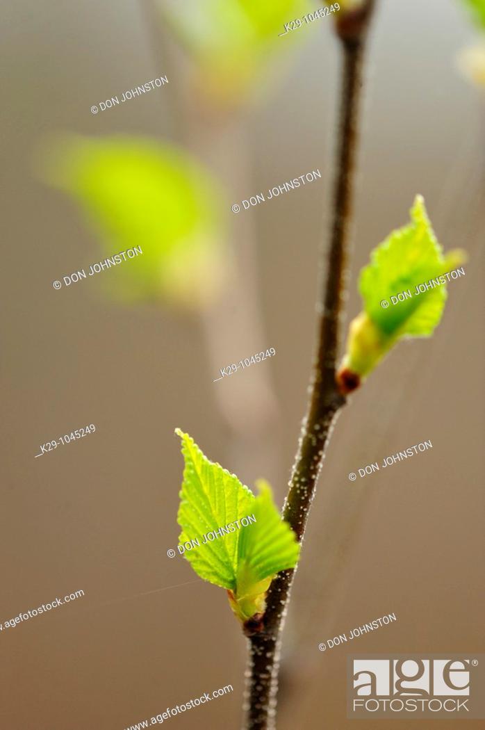 Stock Photo: White birch Betula papyrifera Emerging leaves.