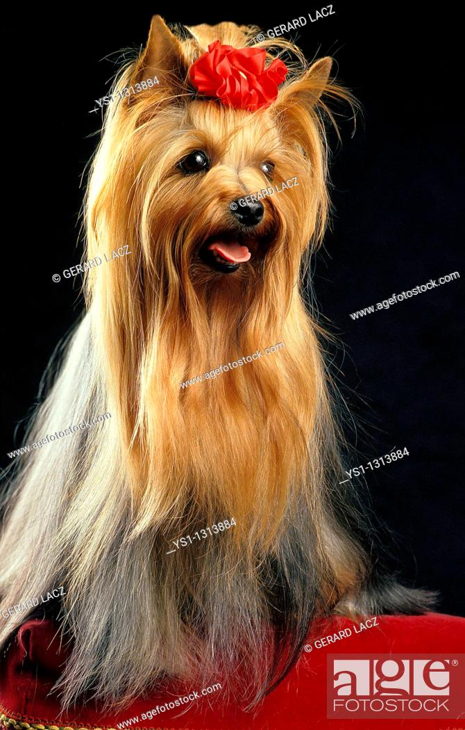 Stock Photo: YORKSHIRE TERRIER, ADULT AGAINST BLACK BACKGROUND.
